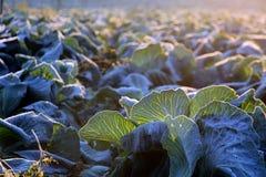 Frost auf Wirsingkohlfeld Stockfoto