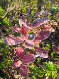 Frost on Autumn Blueberry Bushes on Forbidden Plateau, Strathcona Provincial Park, Vancouver Island. Autumn morning frost covering the vibrant red leaves of a Royalty Free Stock Image