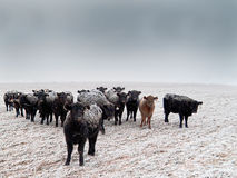 Frost-back Cattle Royalty Free Stock Photos