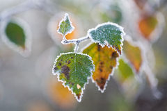 Frost bedeckte Bucheblätter mit einer Kruste lizenzfreie stockfotografie