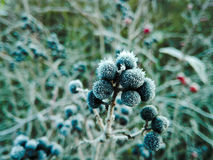 Frost berries Stock Photography