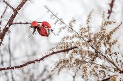 Frost berry. Frost berries, rosehips in the snow and grass Royalty Free Stock Photo