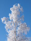 Frost birch Stock Image