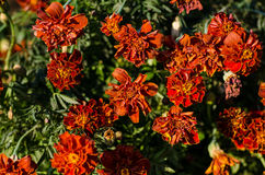 Frost-bitten marigold Stock Image