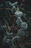 Frost-Blumentapeten stockbilder