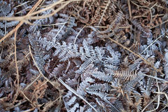 Frost on Bracken Stock Image
