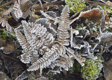Frost on Bracken Fronds Royalty Free Stock Image