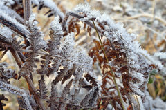 Frost on Bracken Fronds Royalty Free Stock Photos