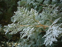 Frost branch Stock Photos