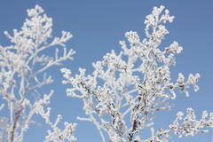 Frost on branch. In winter Royalty Free Stock Photo