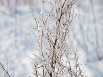 Frost on a branch on a frosty day.  stock images