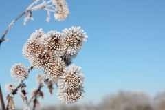 Frost on branch Royalty Free Stock Image