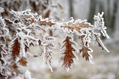 Frost on branches. Beautiful winter seasonal natural background.frost rosehip bushes royalty free stock photography