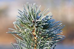Frost on branches. Beautiful winter seasonal natural background. Frozen evergreen tree - a pine tree. stock photo