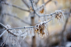 Frost on the branches, close-up. Morning in the forest, frost on the branches Royalty Free Stock Photos