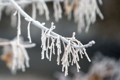 Frost on the branches. The winters tale. Nature in winter. Morning in the forest, frost on the trees, close-up. Hoarfrost, rime and hoar Royalty Free Stock Image