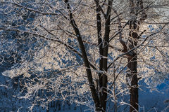 Frost on the branches in the sunset. Frosty hoarfrost on tree branches on a sunset. Blue background of the sky Royalty Free Stock Photo