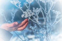 The frost on the branches. The woman`s hand gently touches the sharp needles of frost on the branch close-up. Beautiful winter seasonal natural background stock images