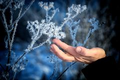 The frost on the branches. The woman`s hand gently touches the sharp needles of frost on the branch close-up. Beautiful winter seasonal natural background royalty free stock photos