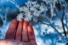 The frost on the branches. The woman`s hand gently touches the sharp needles of frost on the branch close-up. Beautiful winter seasonal natural background stock photography