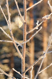 Frost Brich leaf Stock Photo