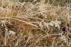 Frost broncea la hierba en invierno, Nueva Zelanda Imagen de archivo