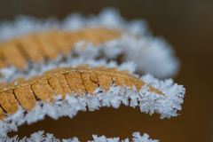 Frost on a brown fern Stock Photo