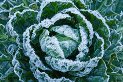 Frost on Brussels Sprouts Royalty Free Stock Photo