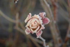 Frost cobriu a cabeça de Rosa imagens de stock royalty free
