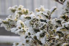 Frost cobriu o pinho Bush fotos de stock