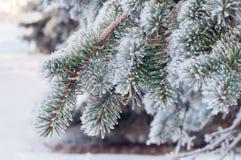 Frost cobriu ramos do fim do abeto vermelho acima imagem de stock royalty free