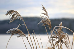 Frost on Common Reed in Winter Royalty Free Stock Images