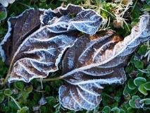 Frost a couvert des feuilles de figue Photos stock