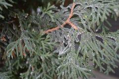 Frost a couvert haut étroit d'arborvitae Photo libre de droits