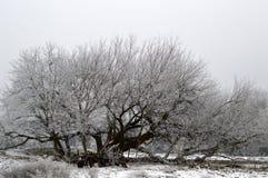 Frost a couvert l'arbre d'aîné de boîte Photos stock