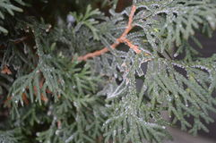 Frost covered arborvitae close up. Beautiful winter photo, closeup of frost on arborvitae, thuja genus, cypress family of evergreens royalty free stock photo