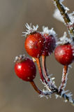 Frost Covered Berries Royalty Free Stock Image