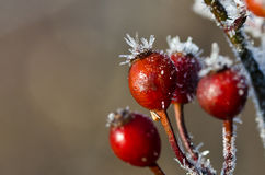 Frost Covered Berries Stock Image