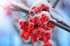 Frost-covered berries Royalty Free Stock Photography