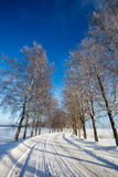 Frost covered birch tree allay in winter Royalty Free Stock Photos