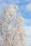 Frost covered birch tree. And autumn leaves Royalty Free Stock Photo