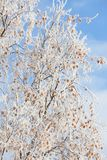 Frost covered birch tree. And autumn leaves Royalty Free Stock Image
