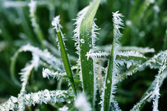 Frost Covered Blades of Grass. Macro Stock Photography