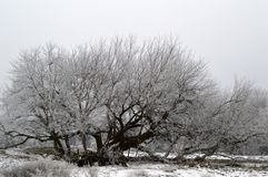 Frost covered Box Elder Tree. Sprawling, massive Box Elder tree, Acer Negundo in the aceraceae family, beautifully covered in icy frost Stock Photos