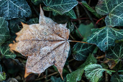 Frost Covered Brown Leaf on Frozen Green Leaves Royalty Free Stock Photos