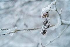 Frost covered buds Stock Image
