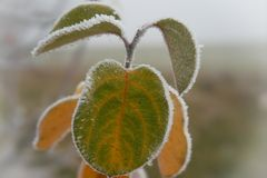 Frost covered colorful apple leaves in winter stock image