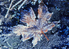 Frost-covered fallen maple leaf illuminated by sunlight Royalty Free Stock Photography