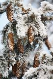 Frost covered fir tree Royalty Free Stock Photography