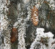 Frost covered fir tree Stock Photo